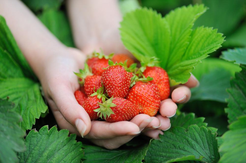 Abundant Bounty of Strawberries